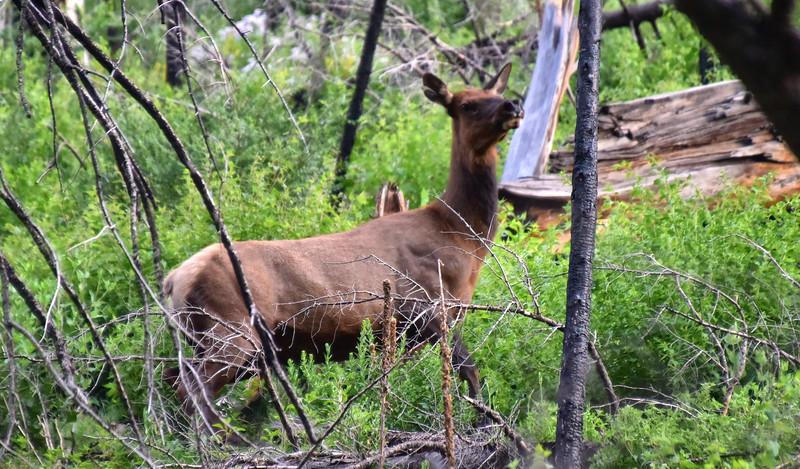 NEA_7721-Elk