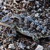 PEU_4551-10x8-Horned Lizaed
