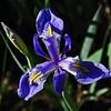 PEU_4628-7x5-Iris