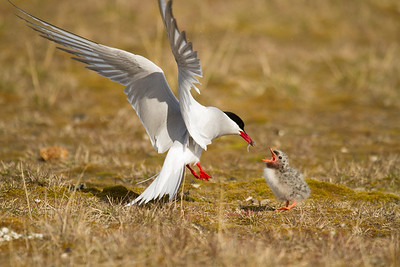 An Arctic tern feeds her chick in Ny Aslund, Svalbard. Arctic terns migrate all the way from the Arctic to the Antarctic annually, a minimum journey of 19,000km/12,000m.