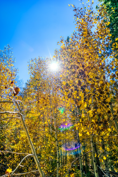Looking up through the aspen groves