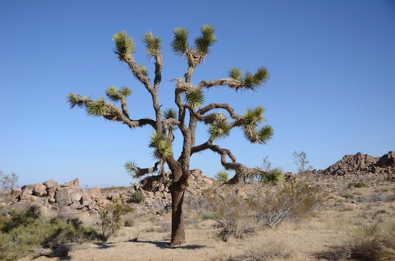 Joshua Tree NP52.jpg