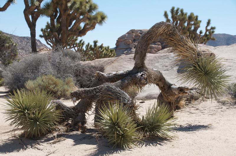 Joshua Tree NP39.jpg
