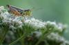 Grasshopper, September 01, 2020, Sony A7RIV, 100-400mm, 1/160, F8.0, ISO 320