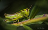 Grasshopper, backyard, Aug 16 2013, Canon 6D-macro 100mm-1/800-F6.3-ISO400-LR5