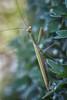 Praying Mantis, Sept 08 2014, Belleville backyard, Canon 6D, 100mm Macro,1/160,F8,ISO 640