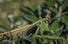 Praying Mantis, Sept 08 2014, Belleville backyard, Canon 6D, 100mm Macro,1/250,F18,ISO 1000