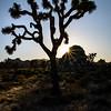 Joshua Tree silhouetted