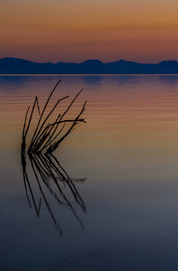 Reeds Sticking Out Of Water, Mono Lake_