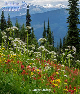 Mount Revelstoke National Park in BC, Wildflowers at the summit in summer.