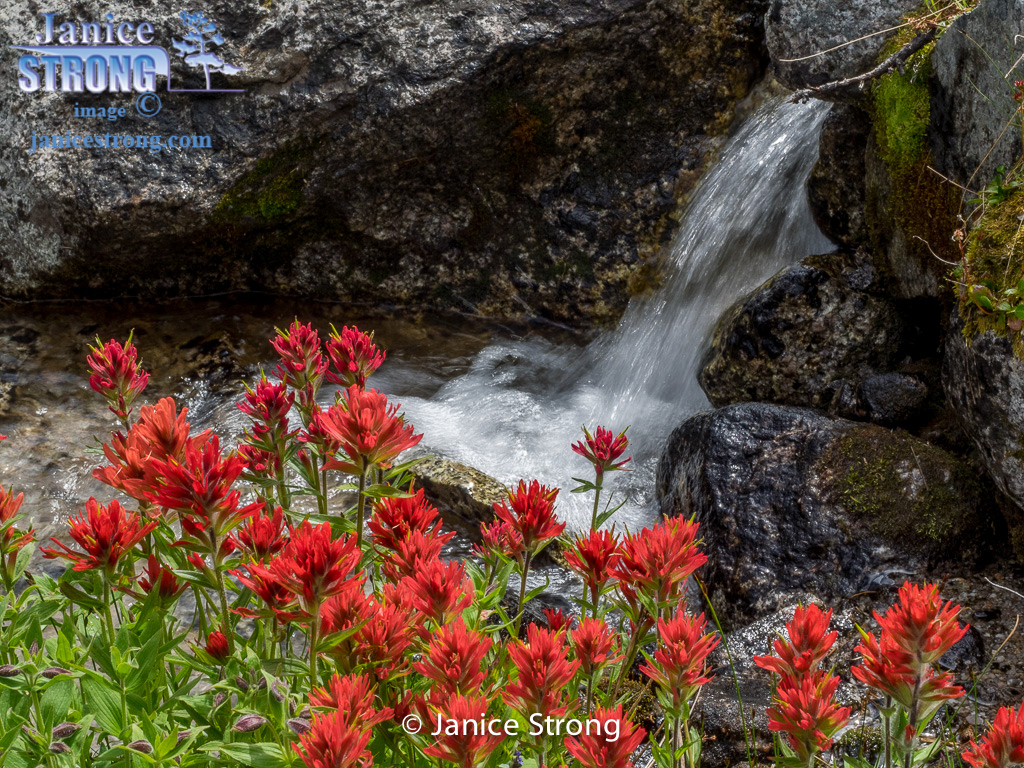 Indian Paintbrush by an alpine creek in the Purcell Mts.#8093