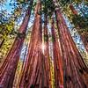 """""""Sequoia Starburst"""""""
