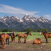 """Teton Horses"""