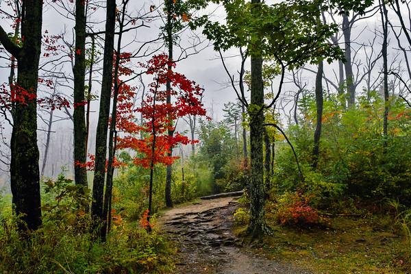 Misty Mountain Maple