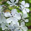 Phlox divaricata - S5010277
