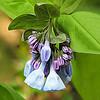 Virginia Bluebells - DSCN2399