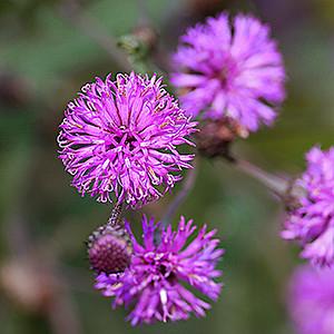 Vernonia noveboracensis - P1040150