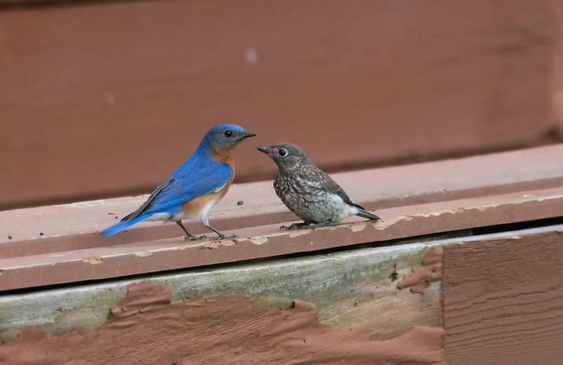 Male Eastern Bluebird feeding his fledgling<br /> Black Hill Regional Park, Boyds, MD