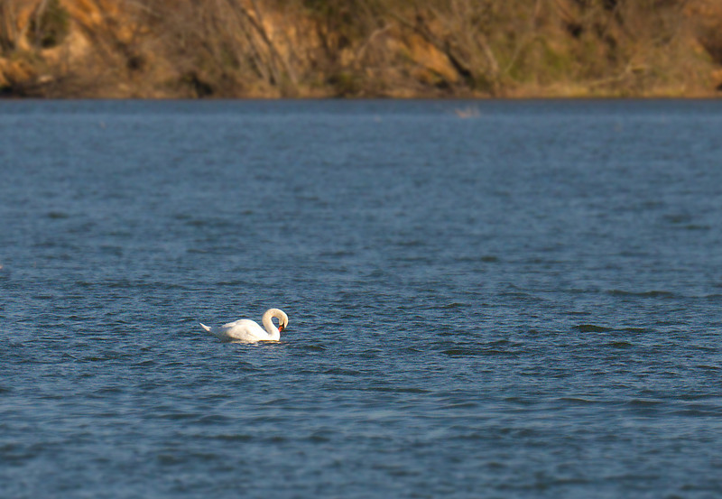 "Mute swan <span class=""nonNative"">[non-native invasive]</span> in Popes Creek Washington's Birthplace, VA"