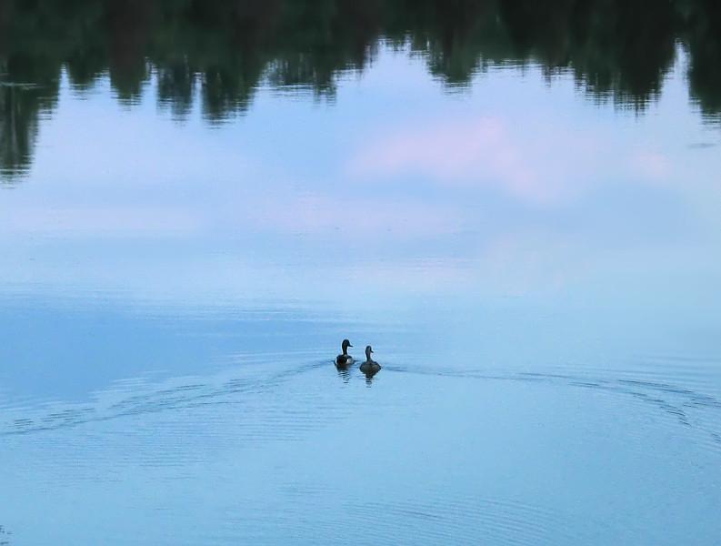 Mallard pair at sundown<br /> Blue Mash Trail near Olney, MD
