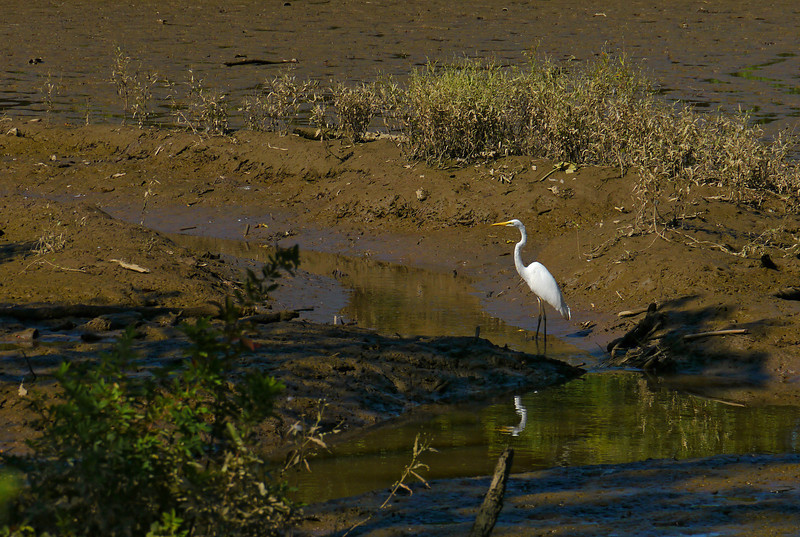 Great egret on the shore of the Anacostia<br /> Kenilworth Aquatic Gardens, Washington, DC