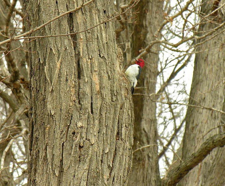 Red-headed woodpecker<br /> Sky Meadows State Park, Delaplane, VA