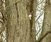Red-headed woodpecker<br /> Sky Meadows State Park, Delaplane, VA
