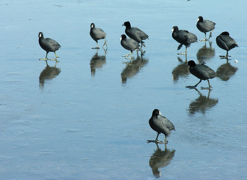 American coots on ice (<I>Fulica americana</I>) Havre de Grace, MD