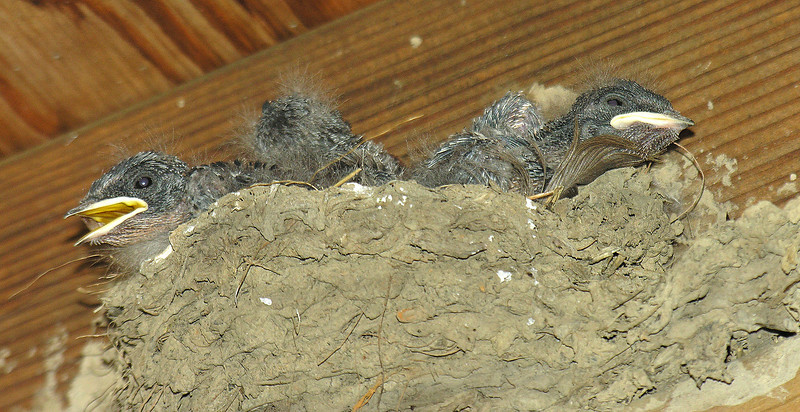 Baby barn swallows nesting in duck blind (<I>Hirundo rustica</I>) Jug Bay Wetlands Sanctuary, Lothian, MD