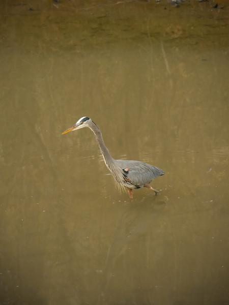 Great blue heron in full breeding plumage, stalking dinner<br /> C&O Canal Natl Historical Park - Glen Echo, MD