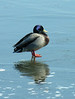 Mallard male on ice (<I>Anas platyrhynchos</I>) Havre de Grace, MD