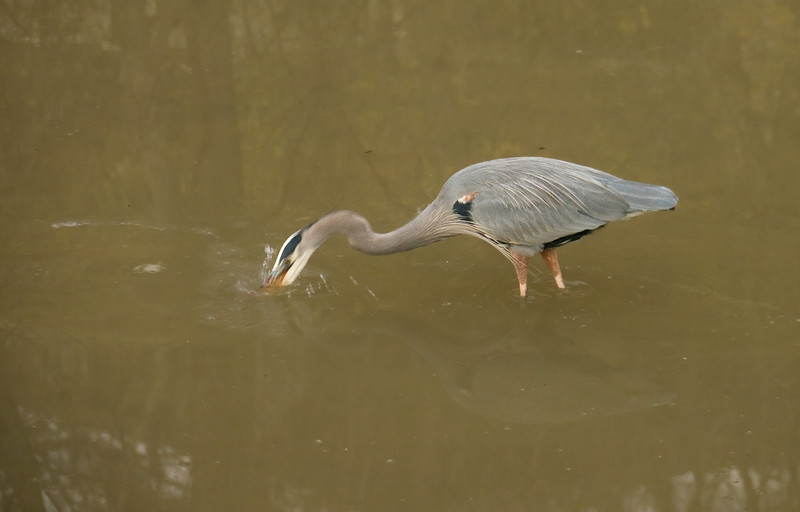 Great blue heron's lightning-fast fish attack<br /> C&O Canal Natl Historical Park - Glen Echo, MD