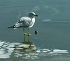 Ring-billed gull on ice (<I>Larus delawarensis</I>) Havre de Grace, MD