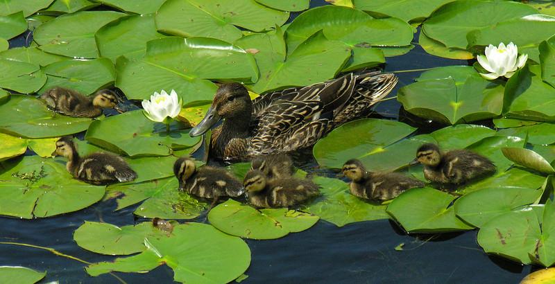 Black duck / mallard hybrid family (<I>Anas rubripes -  X platyrhynchos?</I>) Lake Artemesia Natural Area, Prince Georges County, MD