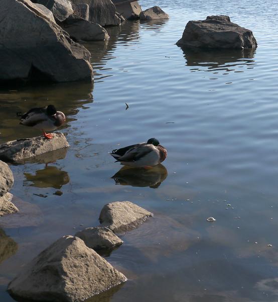 Sleeping mallards in cove off Potomac River<br /> Gravely Point, Arlington, VA