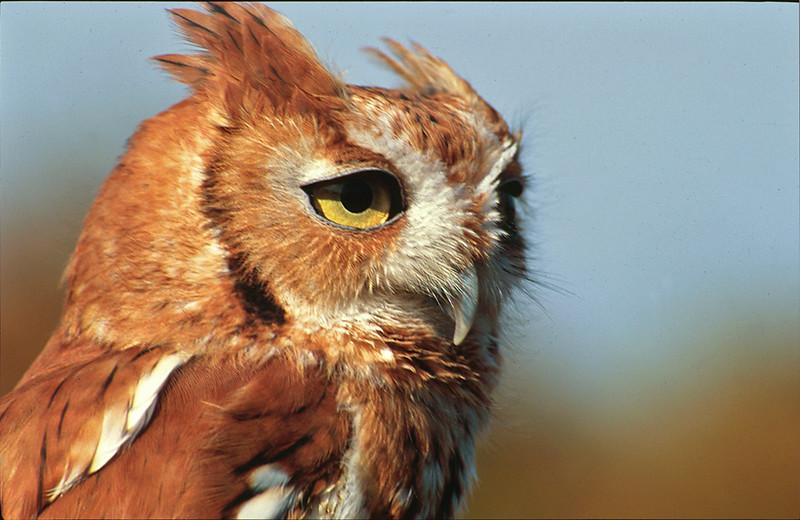 Female Eastern screech owl (<i>Otus asio</i>), rufous morph (in captivity) Horsehead Wetlands Center, Grasonville, MD