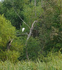 Great egret in Hughes Hollow freshwater impoundment<br /> McKee Beshers Wildlife Mgt Area, Poolesville, MD