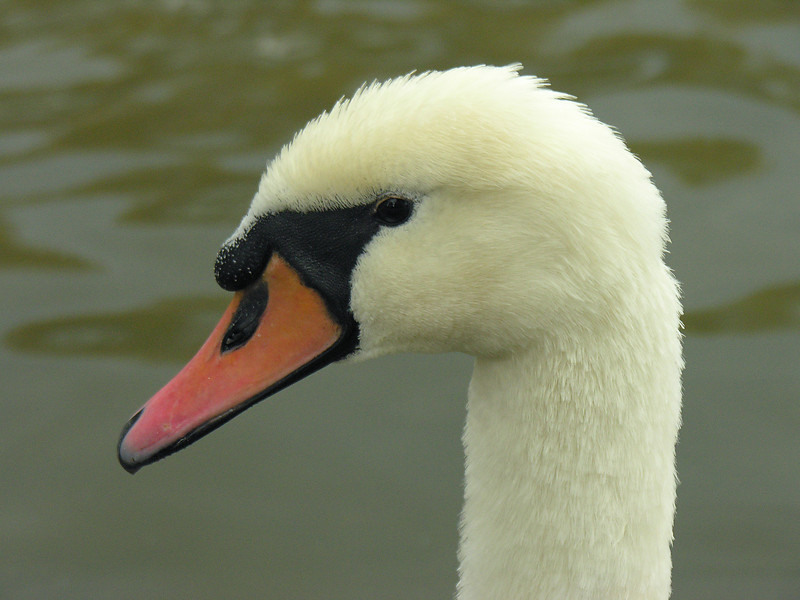 "Mute swan (<i>Cygnus olor</i>) <span class=""nonNative"">[Non-native, invasive]</span> City Park Lake, Hagerstown, MD"