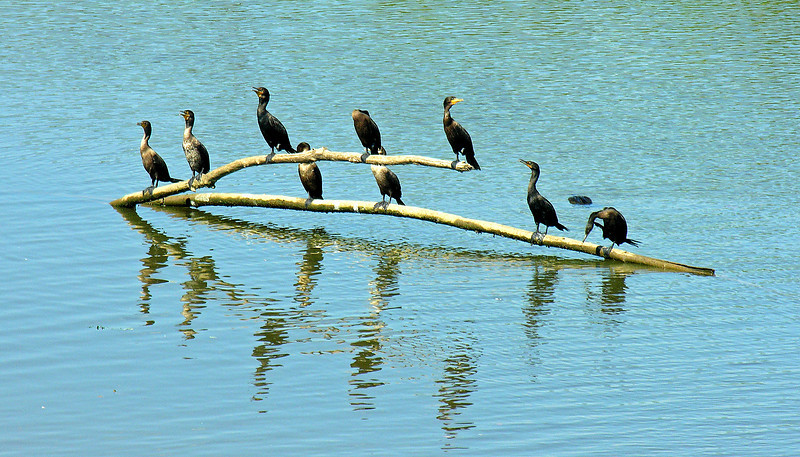 Double-crested cormorants in Anacostia River (<I>Phalacrocorax auritus</I>) Prince Georges County, MD