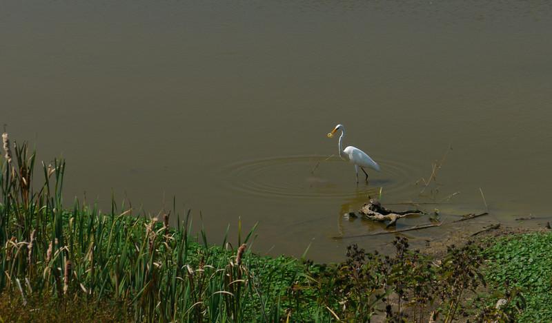 Great egret capturing a sunfish<br /> Huntley Meadows Park, Alexandria, VA
