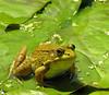 Bullfrog (<I>Rana catesbeiana</I>) Brookside Gardens, Wheaton, MD