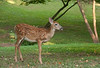Whitetail deer spotted fawn (Mom is busy feasting from the compost bin) <br /> Woodend Sanctuary, Chevy Chase, MD