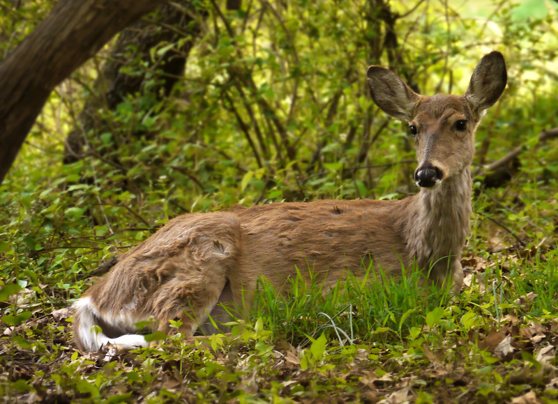 Whitetail deer doe (<I>Odocoileus virginianus</I>) molting in early spring Woodend Sanctuary, Chevy Chase, MD
