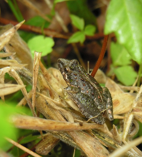 Spadefoot toad (<I>Scaphiopus</I> sp.)? Great Dismal Swamp National Wildlife Refuge, near Suffolk, VA