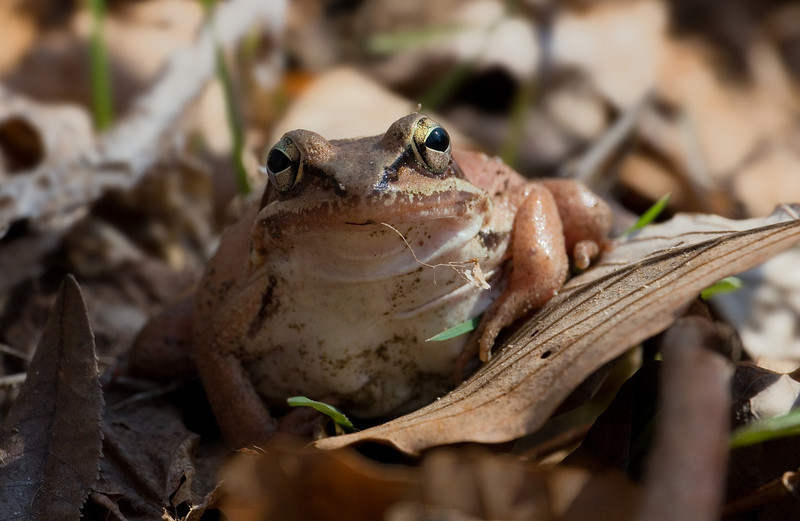 Gravid female wood frog (<I>Rana sylvatica</I>) Dora Kelley Nature Park, Alexandria, VA