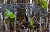 Skunk cabbage (<I>Symplocarpus foetidus</I>) & wood frog (<I>Rana sylvatica</I>) egg mass Maydale Conservation Park, Colesville, MD