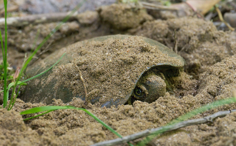 Eastern mud turtle (<I>Kinosternon subrubrum</I>) laying her eggs in sandy woodland soil Jug Bay Wetlands Sanctuary, Lothian, MD