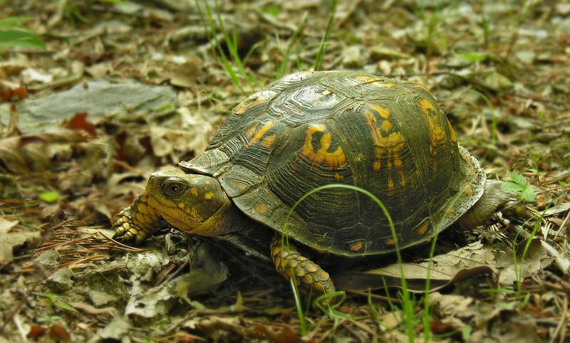 Female Eastern box turtle (<I>Terrapene carolina</I>) Little Bennett Regional Park, Clarksburg, MD