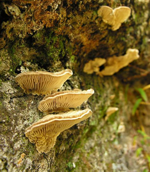 Gilled polypore bracket mushrooms (<I>Lenzites betulina</I>?) on decaying log Catoctin Mountain Nat'l Park, Frederick County, Maryland