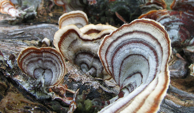 Turkeytail mushrooms (<I>Trametes versicolor</I>) on decaying log Audubon Naturalist Society's Rust Nature Sanctuary, Leesburg, VA